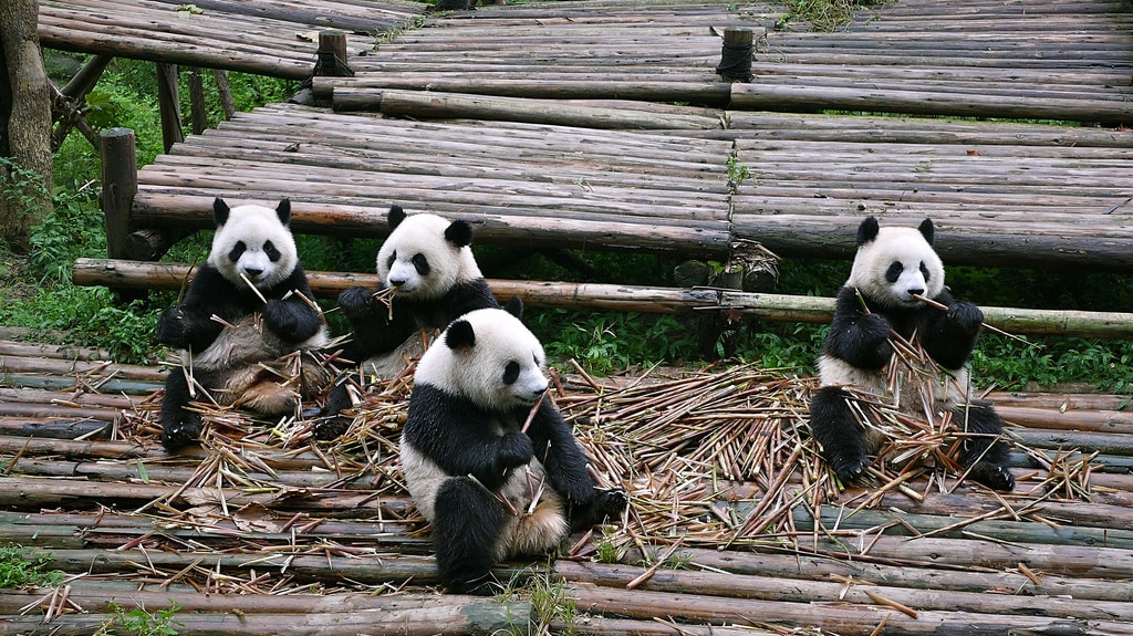Chengdu Research Base Giant Pandas Eating Bamboo