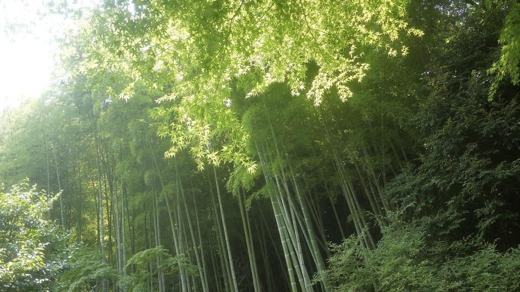 Dappled Bamboo