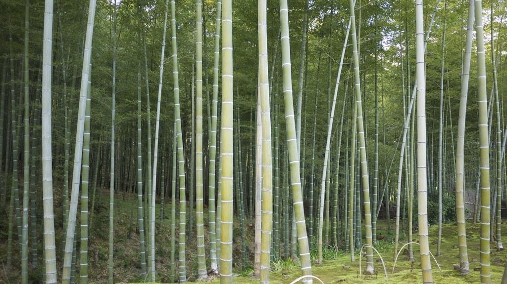 Tenryū-ji Bamboo Grove