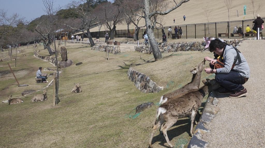 Feeding Deer on Wakakusayama Hill