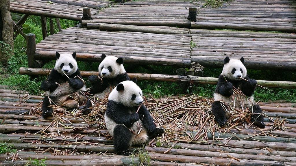 Munching Bamboo