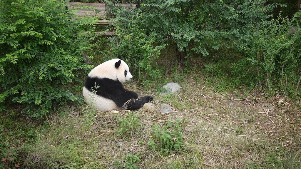 Panda on a Bamboo Break