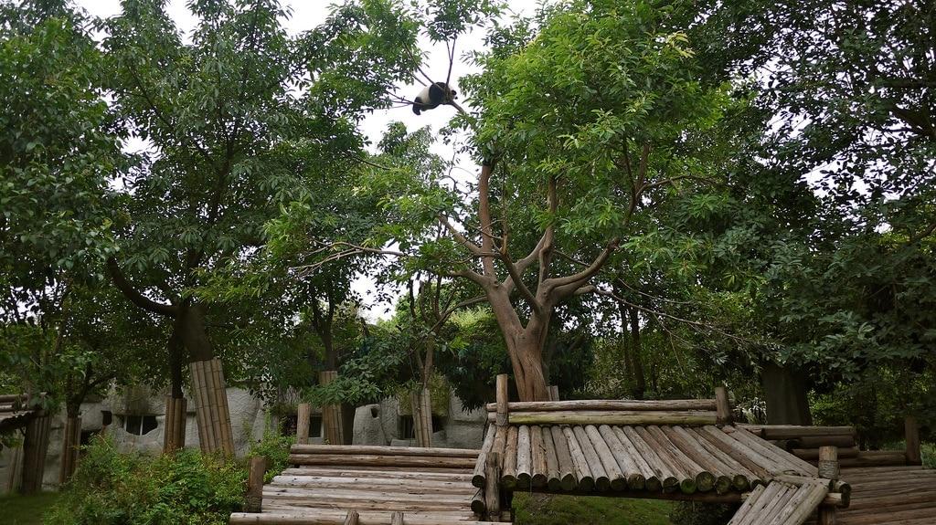 Tree Climbing Panda