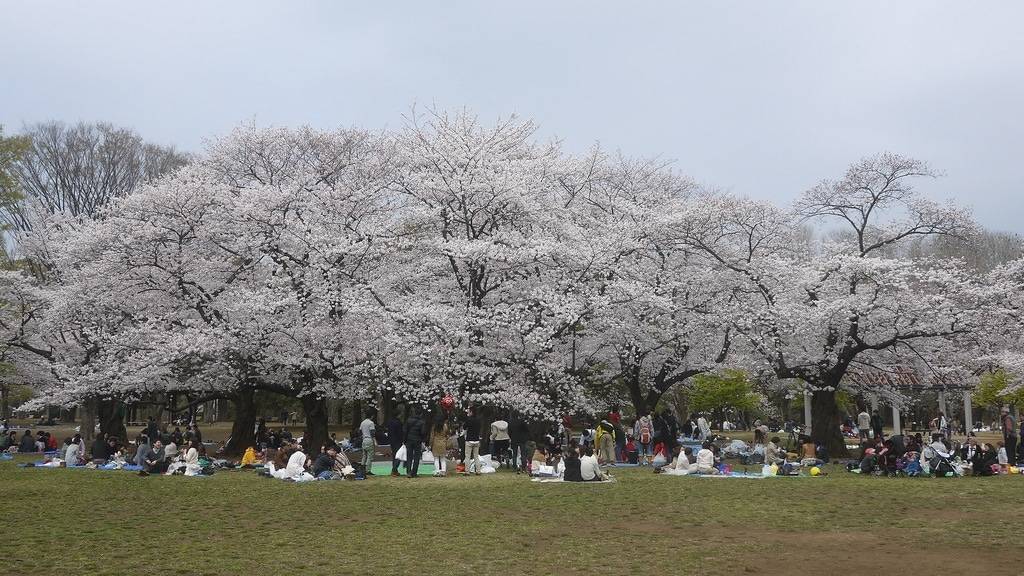 Cherry Blossom Trees in Full Bloom