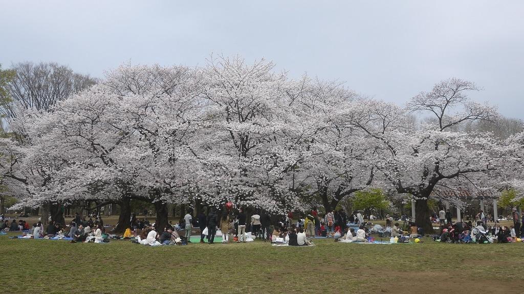 Cherry Blossom Trees in Full Bloom