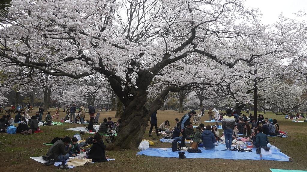 Hanami Party in Yoyogi Park