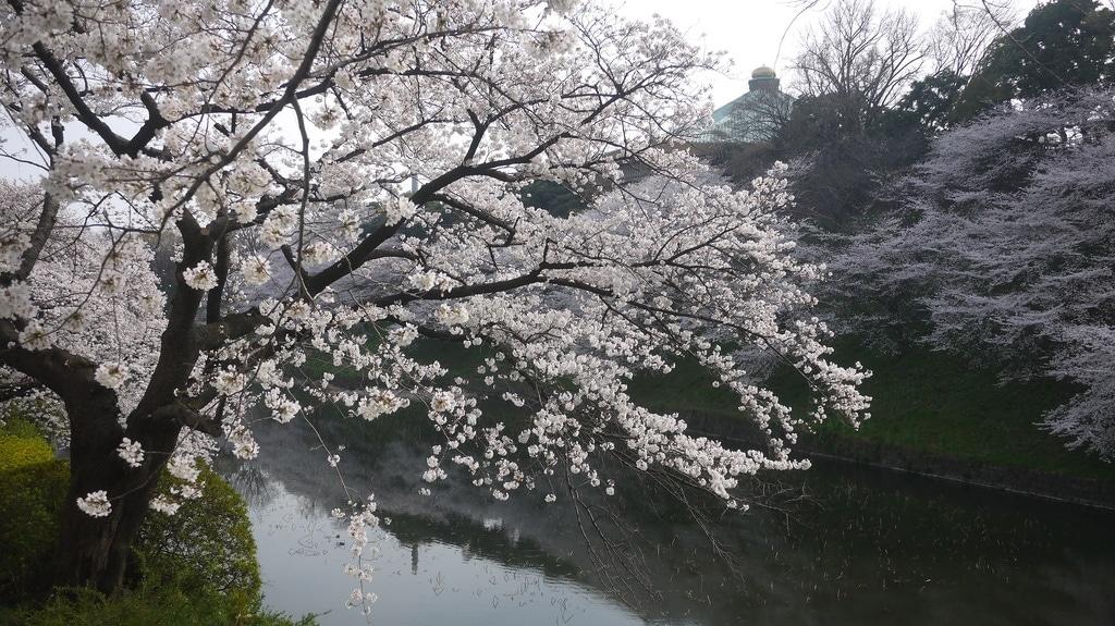 Chidorigafuchi Hanami