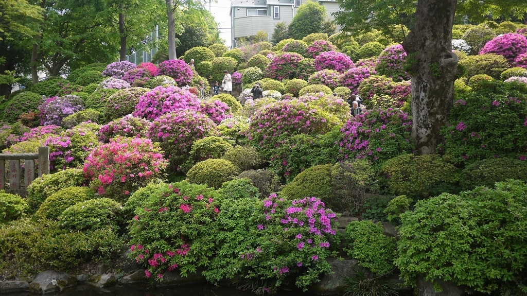 Azalea's at full bloom