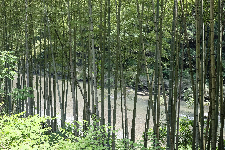 Oda River Bamboo