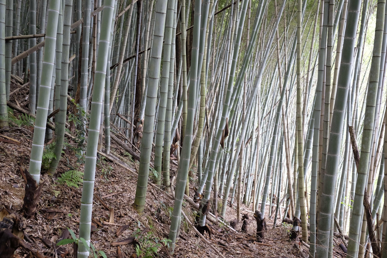 Bamboo forest near Senyū-ji