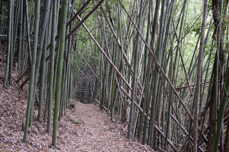 Bamboo forest near Iyadani-ji