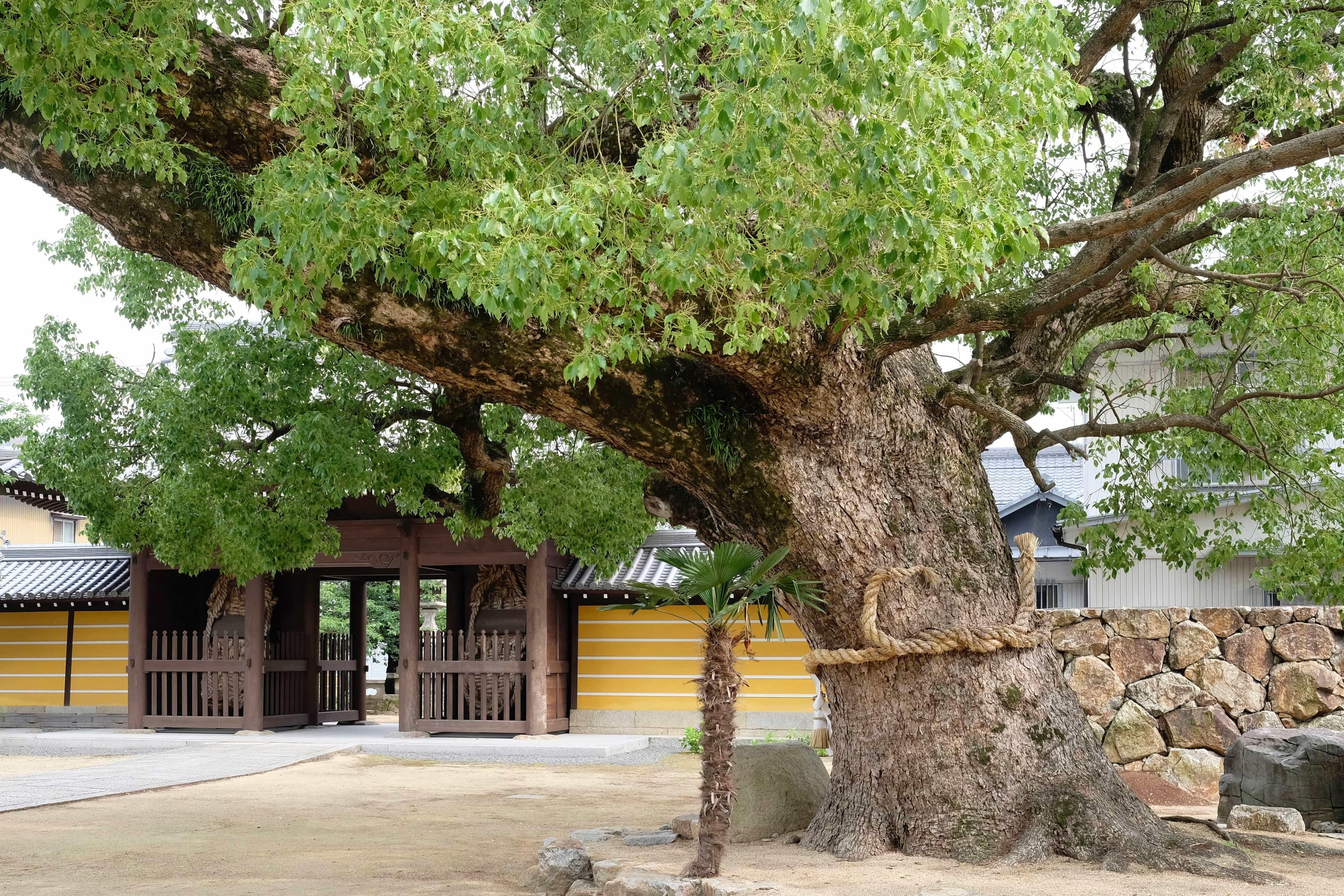 Konzō-ji camphor tree
