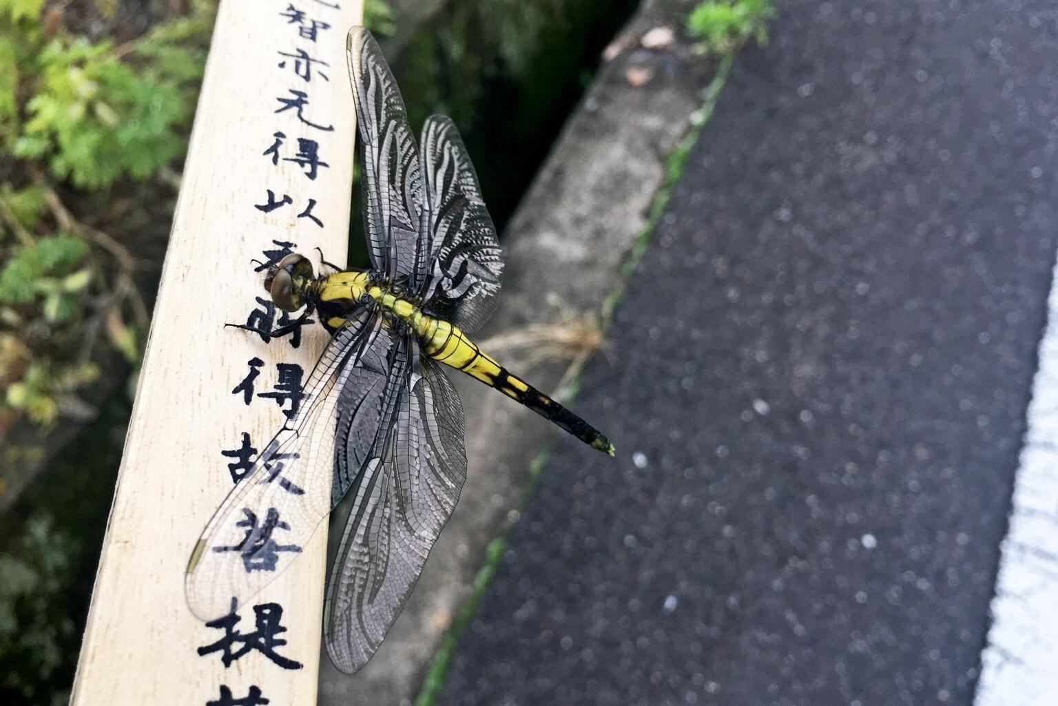 Dragonfly henro