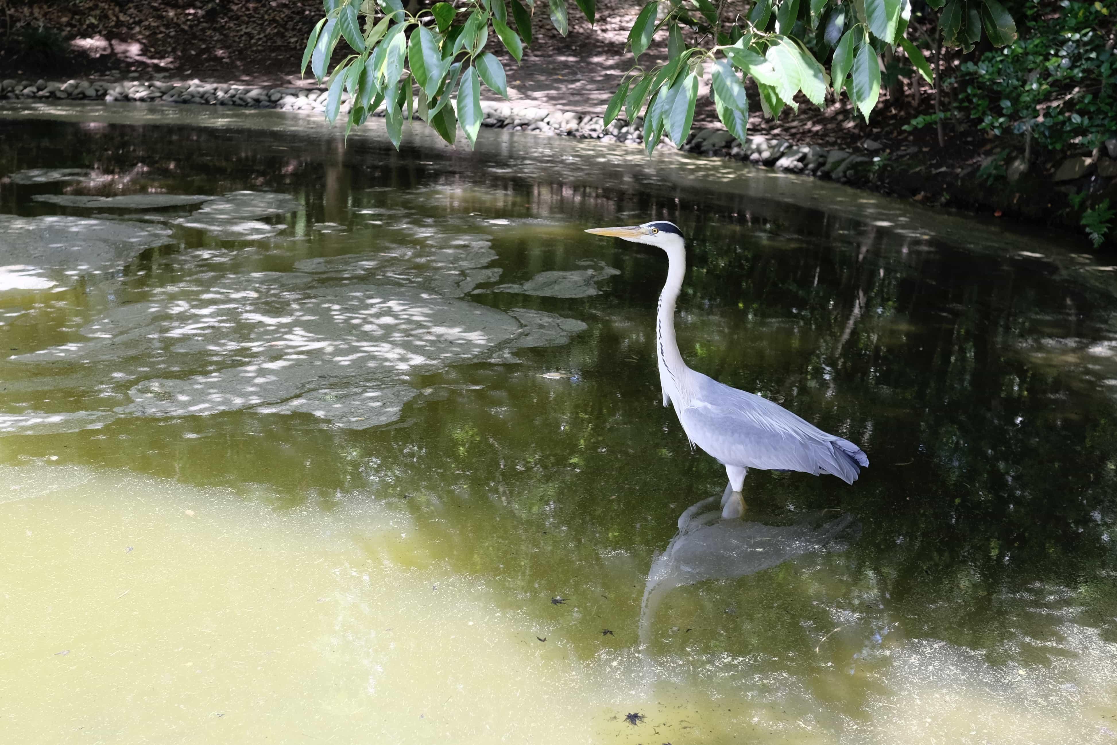 Heron in Ritsurin Garden