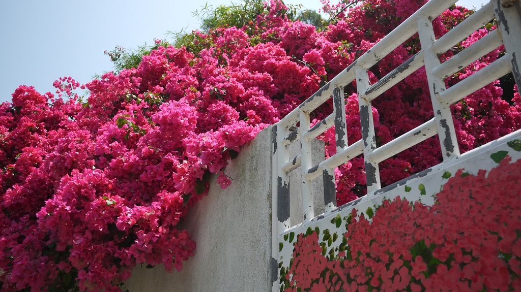 Pink Flowers in Peng Chau